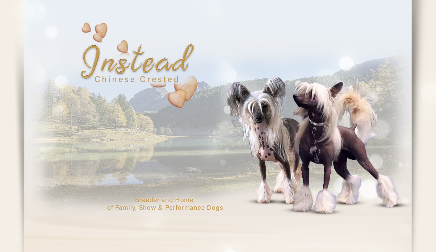 Instead Chinese Crested FCI